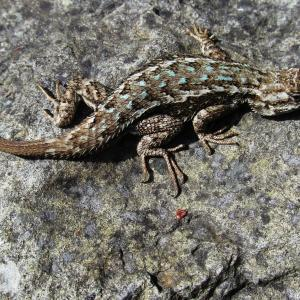 brown lizard with white and turquoise scales rests on gray rock